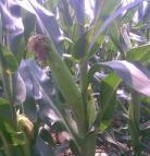 玉米生长过程高清图解 玉米1至3天的生长过程